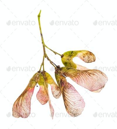 pink seeds of amur maple (tatar maple) tree