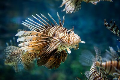Beautiful lion fish hovering in mid water hunting for small prey