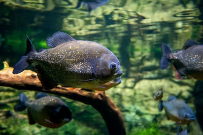 Piranha fishes in a natural environment