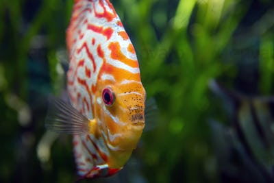 Discus in an aquarium on a green background