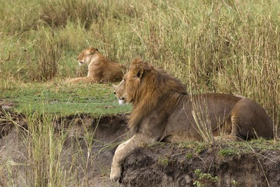 Adult lion lying and a lioness in the background, side view