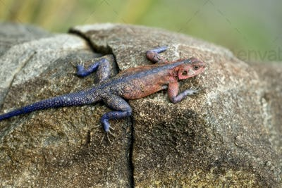 Red-headed Rock Agama, Tanzania, Africa
