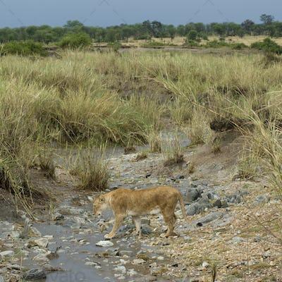Lioness in stream, Serengeti National Park, Serengeti, Tanzania