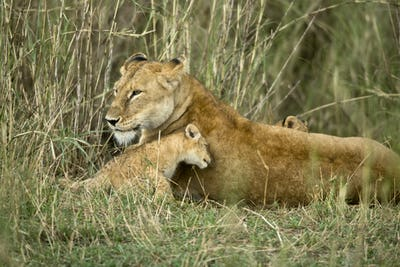 Lioness and her cub, Serengeti National Park, Serengeti, Tanzania