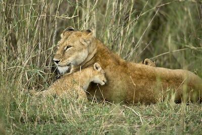 Lioness and her cub, Serengeti National Park, Serengeti, Tanzania