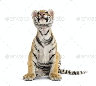 Two months old tiger cub sitting against white background