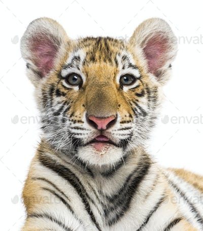 Two months old tiger cub against white background