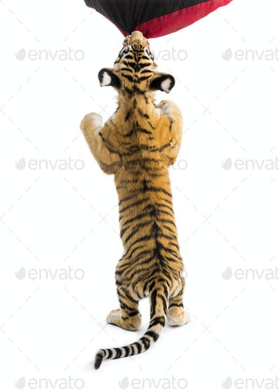 Two months old tiger cub rearing up to bite material against white background