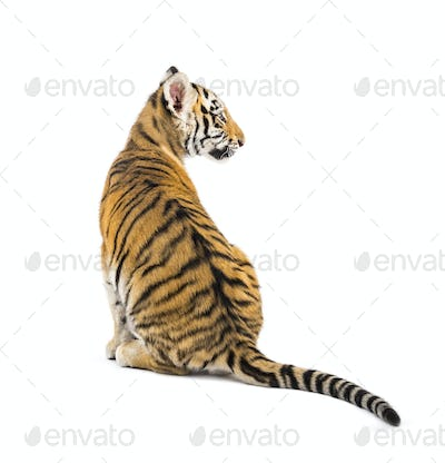 Back view on a two months old tiger cub sitting against white background
