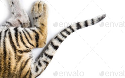 Close up of two months old tiger cubs tail in white studio