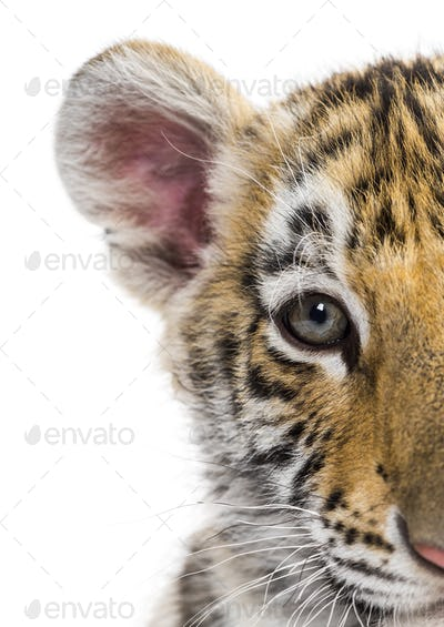 Close up of, Two months old tiger cub against white background