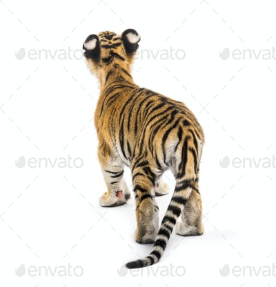 Back view of a two months old tiger cub standing against white background