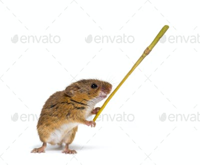 Eurasian harvest mouse, Micromys minutus, holding twig in front of white background