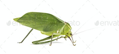 Giant katydid, Stilpnochlora couloniana, in front of white background