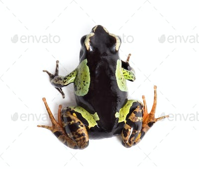 Malagasy painted mantella, Mantella madagascariensis, in front of white background