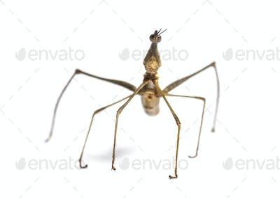 Horsehead Grasshopper, Pseudoproscopia scabra, in front on white background