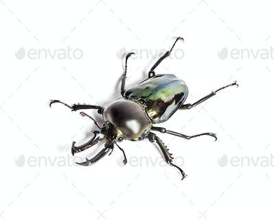 Rainbow stag beetle, Phalacrognathus muelleri, in front of white background