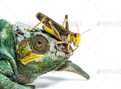 Migratory locust, Locusta migratoria and Panther chameleon, Furcifer pardalis