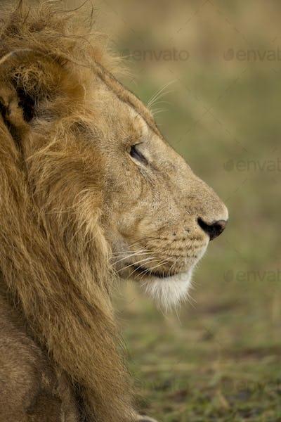Close-up profile of adult lion, Serengeti National Park, Serengeti, Tanzania