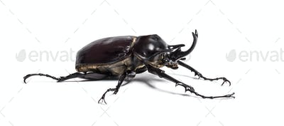 Actaeon beetle, Megasoma actaeon, a rhinoceros beetle, in front of white background