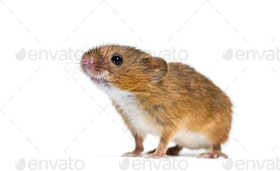 Eurasian harvest mouse, Micromys minutus, in front of white background