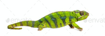 Panther chameleon, Furcifer pardalis, in front of white background