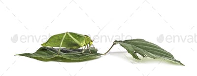 Giant katydid, Stilpnochlora couloniana, on leaf in front of white background