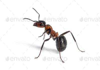 European red wood ant, Formica polyctena, against white background
