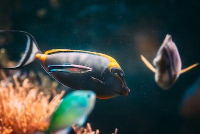 Barcheek Unicornfish - Clown Tang - Masked Unicornfish Fish Naso