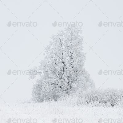 Snow-covered Tree In Winter Frosty Park. Woods In Snow. Minimali