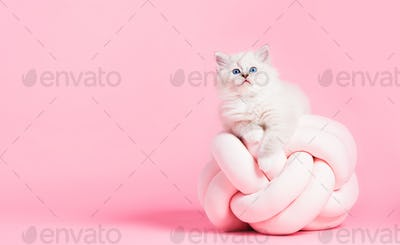 Ragdoll cat, small cute kitten portrait on funny pillow. Pink background