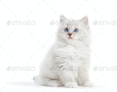 Ragdoll cat, small white kitten portrait isolated on white background