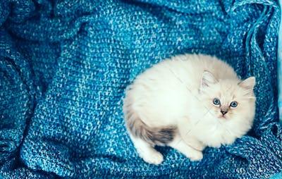 Ragdoll cat, small kitten portrait on blue blanket.