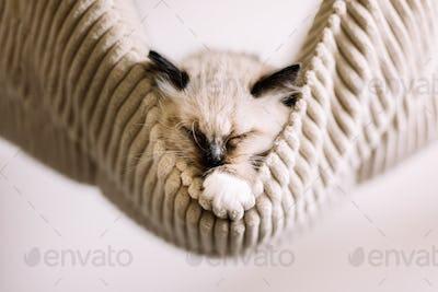 Ragdoll cat, small kitten sleep in hammock