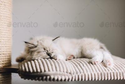 Ragdoll cat, small kitten sleep at home.