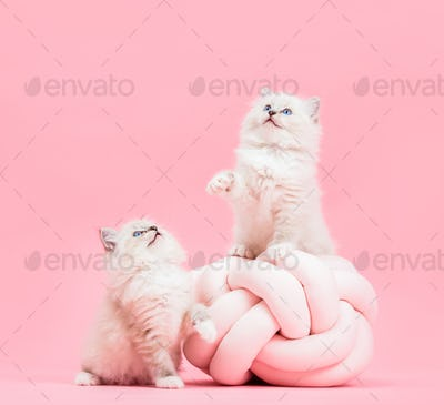 Two Ragdoll cats, small cute kittens portrait on funny knott pillow