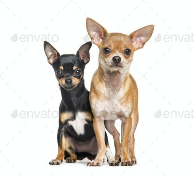 Two Chihuahuas sitting against white background