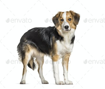 Mixed-breed with a border collie standing against white background