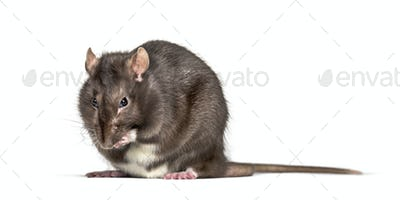 Domestic rat cleaning itself against white background