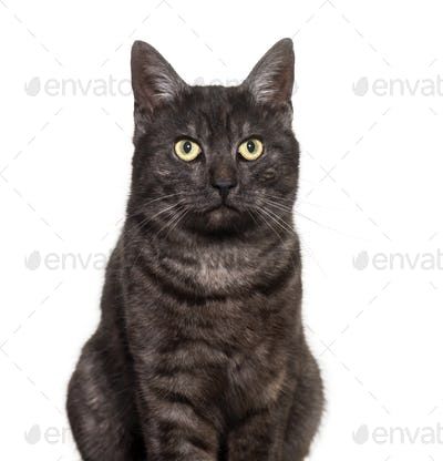 Mixed-breed domestic cat against white background