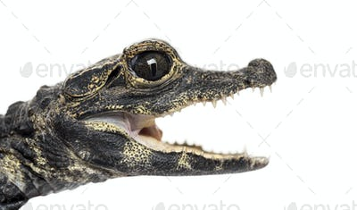 Dwarf crocodile in front of white background