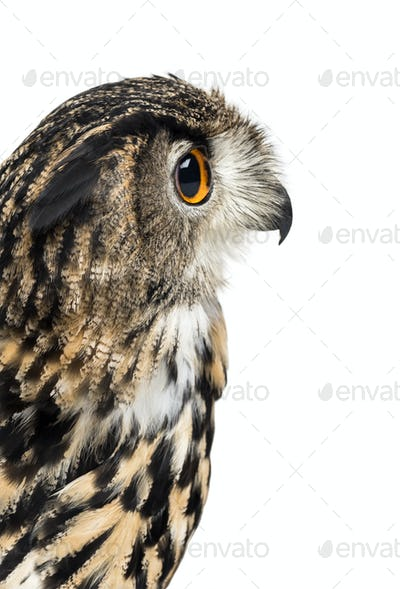Eurasian eagle-owl, Bubo bubo, is a species of eagle-owl against white background