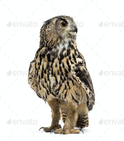 Eurasian eagle-owl, Bubo bubo, is a species of eagle-owl standing against white background