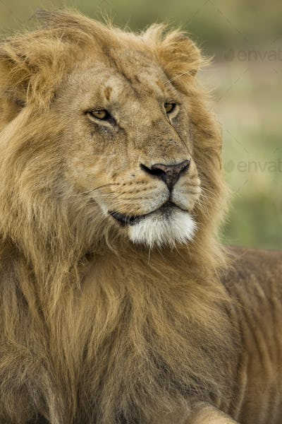 Close-up of Lion, Serengeti National Park, Serengeti, Tanzania, Africa