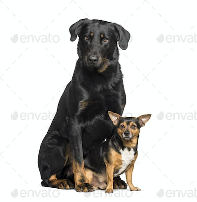 Beauceron and a mixed-breed dog with chihuahua sitting against white background