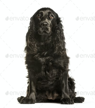 Cocker Spaniels sitting against white background