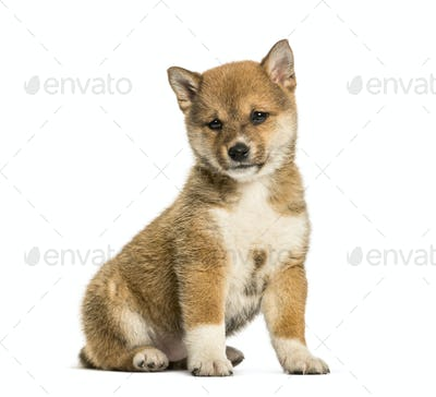Shiba Inu puppy, 8 weeks old sitting against white background