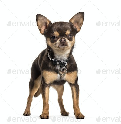 Illness Chihuahua with one eye less standing against white background