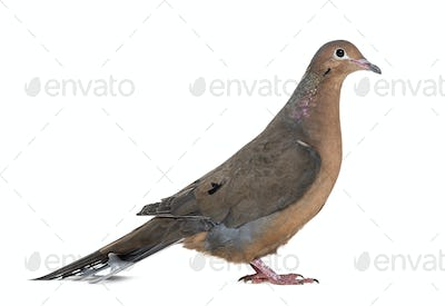 Socorro dove, Zenaida graysoni, is a dove standing against white background
