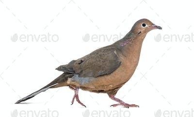 Socorro dove, Zenaida graysoni, is a dove walking against white background